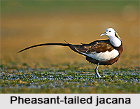 Pheasant-tailed jacana, Indian Bird