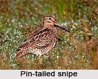 Pin-Tailed Snipe, Indian Bird