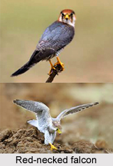 Red-Necked Falcon, Indian Bird