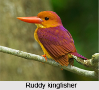 Ruddy Kingfisher, Indian Bird