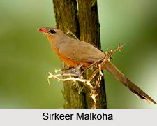 Sirkeer Malkoha, Indian Bird