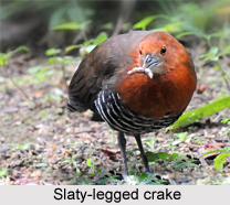 Slaty-legged crake, Indian Bird