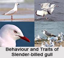 Slender-Billed Gull, Indian Bird