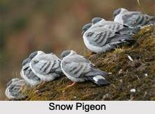 Snow pigeon, Indian Bird