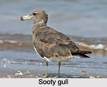 Sooty Gull, Indian Bird