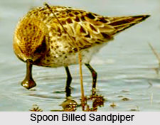 Spoon-Billed Sandpiper, Indian Bird