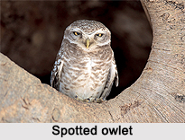 Spotted Owlet, Indian Bird