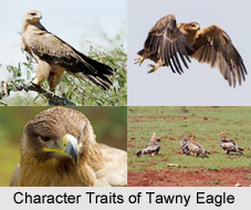 Tawny Eagle, Indian Bird