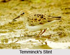 Temminck's Stint, Indian Bird