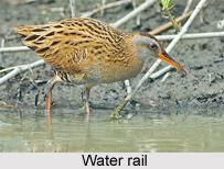 Water Rail, Indian Bird
