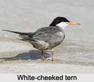 White-Cheeked Tern, Indian Bird