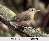 Abbott's Babbler, Indian Bird