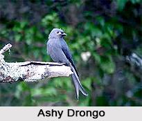 Ashy Drongo, Indian Bird