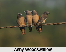 Ashy Woodswallow, Indian Bird