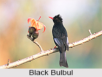 Black Bulbul, Indian Bird