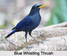 Blue Whistling Thrush, Indian Bird