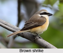 Brown Shrike, Indian Bird