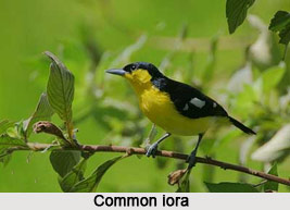 Common Iora, Indian Bird