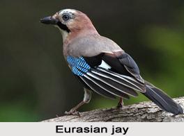 Eurasian Jay, Indian Bird