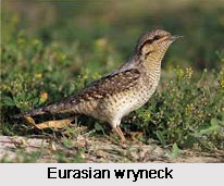 Eurasian Wryneck, Indian Bird