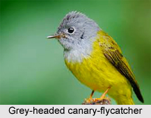 Grey-Headed Canary-Flycatcher, Indian Bird
