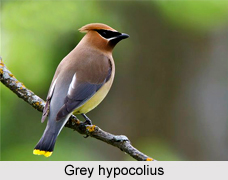 Grey Hypocolius, Indian Bird