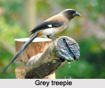 Grey Treepie, Indian Bird