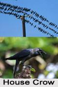 House Crow, Indian Bird