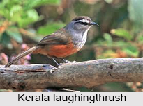Kerala Laughingthrush, Indian Bird