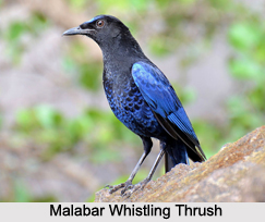 Malabar Whistling Thrush, Indian Bird