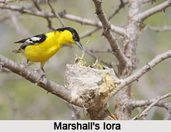 Marshall's Iora, Indian Bird