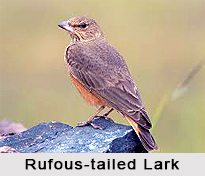 Rufous-Tailed Lark, Indian Bird