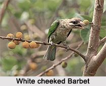 White-cheeked barbet, Indian Bird