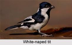 White-Naped Tit, Indian Bird