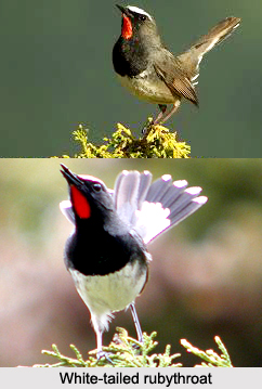 White-Tailed Rubythroat, Indian Bird