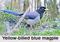 Yellow-Billed Blue Magpie, Indian Bird