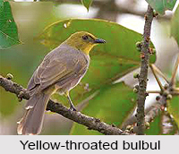 Yellow-Throated Bulbul, Indian bird