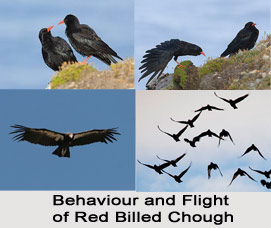 Red-Billed Chough, Indian Bird