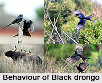 Black Drongo, Indian Bird