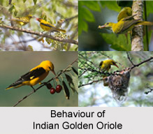 Indian Golden Oriole, Indian Bird