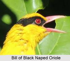 Black-Naped Oriole, Indian Bird