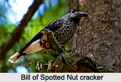 Spotted Nutcracker, Indian Bird