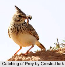 Crested Lark, Indian Bird