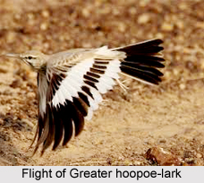 Greater Hoopoe-Lark, Indian Bird