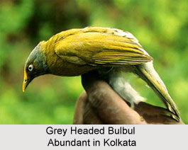 Grey-Headed Bulbul, Indian Bird
