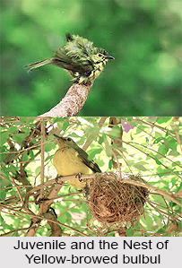 Yellow-Browed Bulbul, Indian Bird