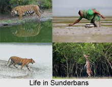 Sundarbans Mangrove Forest in India