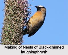 Black-Chinned Laughingthrush, Indian Bird