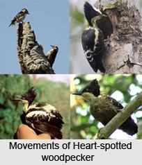 Heart-Spotted Woodpecker, Indian Bird