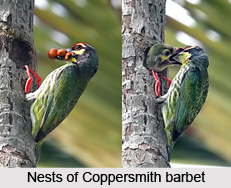 Coppersmith Barbet, Indian Bird